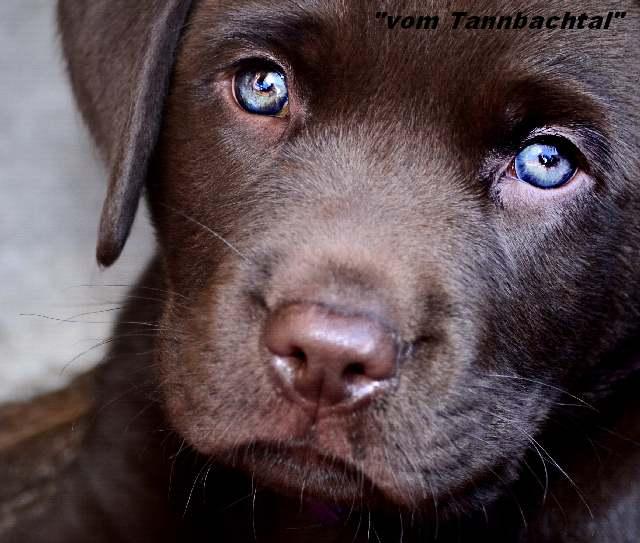Labrador Dunkelbraun